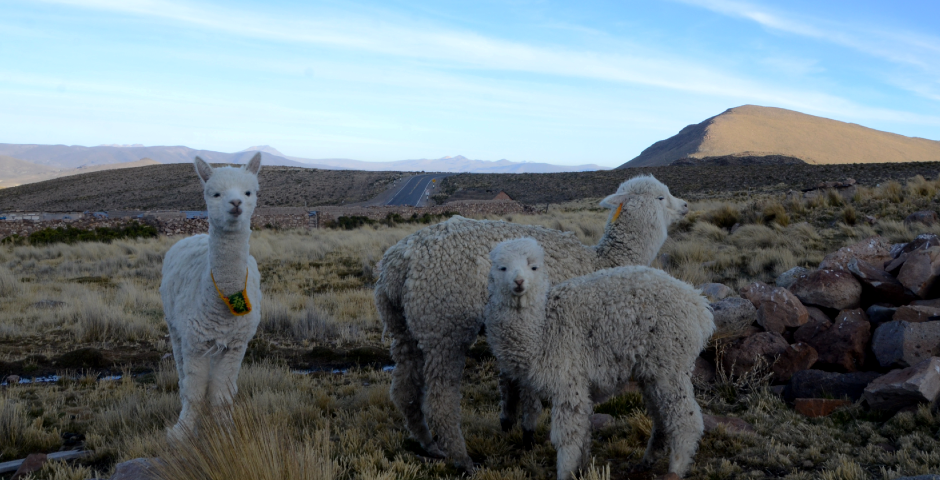 ucsm-creara-tecnologia-para-la-obtencion-de-fibra-especial-de-alpacas